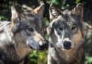 Wolven in de natuur