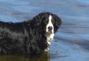 Mogen honden met artrose wel zwemmen